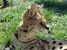 African Serval Asian Leopard Cat, Egyptian Mau, Exotic Cats, Kitten For Sale, Serval, Cat Breeds, Big Cats, Savannah Chat, South Africa