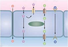 In Vitro Permeability and Transporters
