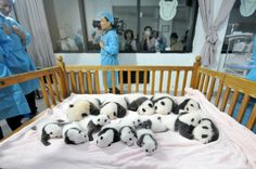 """These newborn pandas snuggling in a crib. 