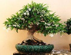 Jazmín bonsai