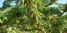 Jak připravit hravý třešňový likér – Abecedazahrady.cz Plants, Plant, Planets