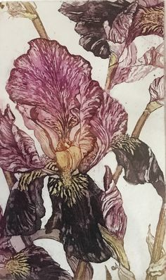 Iris , etching and aquatint by Sally Winter