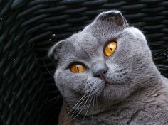 This is a cute Scottish Fold #scottish_fold