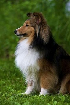 Shetland Sheepdog  Origin: Scotland  Colors: Blue merle, sable and black with variations in white and/or tan  Size: Small  Type of Owner: Novice  Exercise: Moderate   Grooming: Regular  Trainability: Easy to train  Combativeness: Friendly with other dogs  Dominance: Low  Noise: Likes to bark