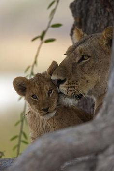 size: Photographic Print: A Lioness Nuzzling Her Cub by Beverly Joubert : Entertainment Beautiful Cats, Animals Beautiful, Beautiful Pictures, Beautiful Creatures, Animals And Pets, Baby Animals, Animals Planet, World Lion Day, Black Jaguar White Tiger