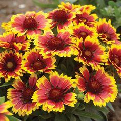 Blanket Flower Gaillardia 'Arizona Sun' - Perennial & Biennial Plants - Thompson & Morgan