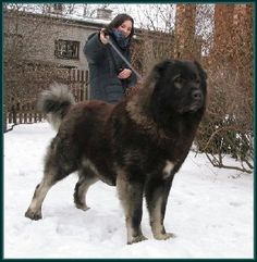 King of Dogs Caucasian Shepherd. The Caucasian Mountain Dog is a very large, muscular, powerful dog. Huge Dogs, Giant Dogs, Russian Bear Dog, Caucasian Shepherd Dog, Large Dog Breeds, Mountain Dogs, Tibetan Mastiff, Beautiful Dogs, Best Dogs