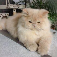Gato persa Mais
