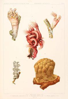 """bd. 13, T. 1, Lfg. 1 - Wissenschaftliche Ergebnisse der Deutschen Tiefsee-Expedition auf dem Dampfer """"Valdivia"""" 1898-1899. - Biodiversity Heritage Library"""