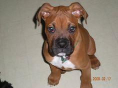 Adorable Boxer Puppy!