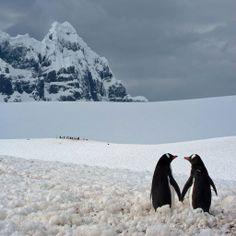 Casal de pinguim, Antártica. Fotógrafo: Marius Ilies.