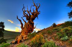 In a protected area high in the White Mountains in eastern California, 15 miles east of Bishop, you'll find the oldest living trees in the world. The gnarled beauties, called the Great Basin Bristlecone Pine, are believed to be 1,000 to around 4,800 years old.