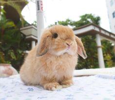 Such a cute bunny! Bunny And Bear, Baby Bunnies, Cute Bunny, Bunny Rabbits, Holland Lop Bunnies, What Is Cute, Bunny Hutch, Bunny Care, Pet Rabbit
