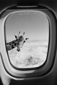 airplane,funny,giraffe,sky,black and white,haha,pretty,lol,cute,animal
