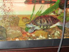 Love this love and turtle tanks on pinterest for Pet koi fish tank