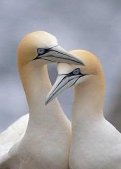 Northern Gannet flocks engage in spectacular bouts of plunge-diving for fish, with hundreds of birds diving into the ocean from heights of up to 130 feet (40 meters).