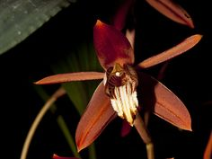 coelogyne odoardoi | Flickr - Photo Sharing!