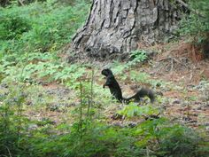 The first and only black squirrel that I have ever seen.     At Edisto Beach South Carolina June 2012.