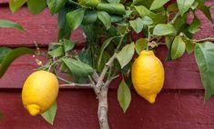 Come curare i limoni in vaso? Ecco un po' di consigli, da come annaffiarli a come proteggerli dal freddo dell'inverno, per ottenere ottimi risultati.