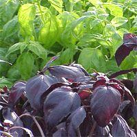Planting basil....annual planting; likes hot summer.