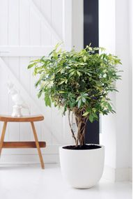 Schefflera or Umbrella tree: These have pretty, whorled leaf clusters and multiple trunks, and they make for a pretty, easy-care house plant. I've had them grow for years with nothing but medium light & water when I remember. Indoor Plant Pots, Indoor Garden, Potted Plants, Home And Garden, Umbrella Tree, Belle Plante, Indoor Trees, Decoration Plante, Inside Plants