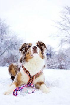 Aussie <3. Couldn't love mine anymore than I do