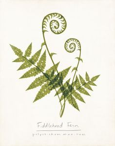 Fiddlehead fern, botanical print.