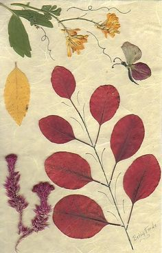 Pressed Flower Designs | Dried and pressed flower designs. / purple smoke tree foliage pressed.