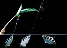 Archerfish, which use water jets to take down prey, are much more skilled and sophisticated target shooters than thought, a new study says.
