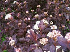 Physocarpus Opulifolius Diabolo Ninebark Purple Leaf Shrub With White Flowers D Habit