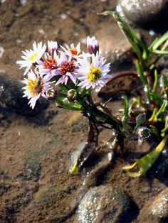 Sea aster (Aster tripolium) The sea aster can be found growing in salt marshes, on rocky sea cliffs and sea walls.
