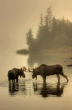 Moose in Isle Royale Park by Pure Michigan. Love the Moose! Beautiful Creatures, Animals Beautiful, Cute Animals, Wild Animals, Baby Animals, Autumn Animals, Beautiful Wall, Photo Animaliere, Tier Fotos