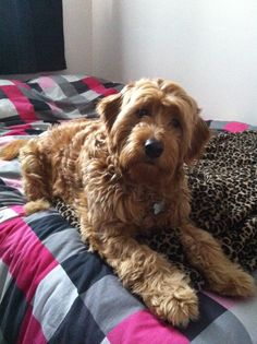 Axle - 1yr old Mini Golden Doodle :)