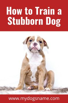 Dog training is tough – and even tougher when you have a stubborn and strong-willed pup. Discover six essential strategies for training a dog with a serious stubborn streak!
