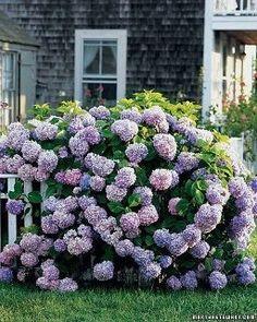Plant hydrangeas at EverAfter