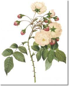 Lovely Vintage Pink Rose Print Romantic Redoute Botanical Cottage Garden Decor Girly Wall Art Gift For Gardener Pjr 2413