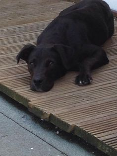 Please look out for her, she has been missing for a long time now, and we are really missing her. Thanks STILL MISSING! Black lab x staffie with white stripe on her chest, answers to the name Ping. Been missing since 08/08/14 in Scunthorpe town centre. She was wearing a pink sparkly collar and is microchipped. Please share and help get her home. Any information is greatly received-please contact 07514801481 thank you