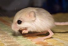 The Baluchistan pygmy jerboa, or the dwarf three-toed jerboa, (Salpingotulus michaelis) was listed in the 2010 Guinness World Book of Records as tied for the smallest rodent and is found only in the shifting sand dune duessert in the Chaghi region of southwestern Pakistan. http://en.wikipedia.org/wiki/Baluchistan_pygmy_jerboa #Rodent #Jerboa