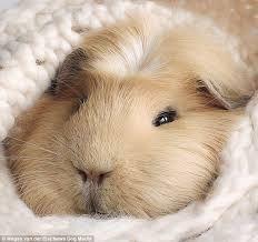 Resultado de imagen de guinea pigs
