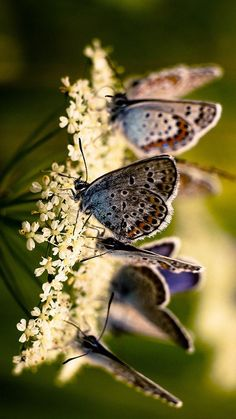 Pretty Azure butterflies   #summer