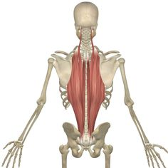 27 best muscle of the month images  muscle yoga anatomy