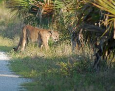 Got to see a Florida Panther in the wild!