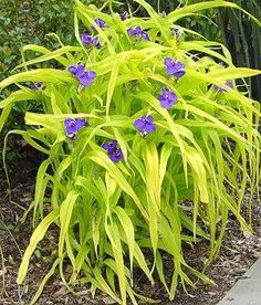 Tradescantia 'Sweet Kate', is hardy herbaceous perennial with unique contrasting colors. This stellar performer has a beautiful upright stature with a compact habit. The leaves are a bright yellow and