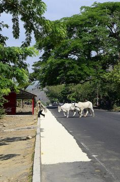 A farmer leads his cows across a road in El Salvador, where maize is being dried | Neil Palmer, CIAT