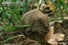 vole field - Google Search