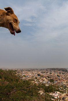 Dog with a view, Jodhpur