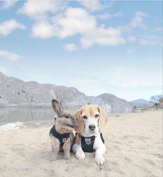 Beagle, Labrador Retriever, Dogs, Animals, Labrador Retrievers, Animales, Animaux, Beagle Hound, Pet Dogs