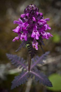 Whorled-leaf Lousewort, Denali National Park and Preserve, Alaska (pinned by haw-creek.com)