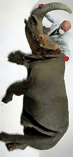 39 000 years. Only four woolly rhinoceros have been found in the world until now. Cherskyi, which was discovered trapped in the icy mud of a golden mine in Yakutia, is the most complete of them all