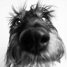 Dachshund Funny dachshund portrait, Amstaphy - Just imagine how your pet would look on your walls Dachshund Funny, Dachshund Breed, Wire Haired Dachshund, Dachshund Love, Dapple Dachshund, Daschund, Pet Dogs, Dogs And Puppies, Dog Cat